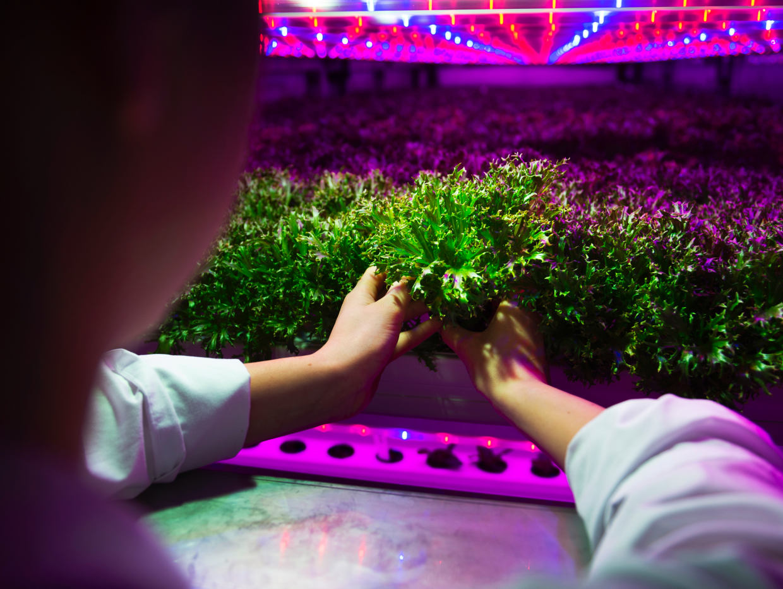 Växtnäring från matavfall används i hydroponiska odlingar.